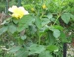 trandafirpomisor1