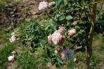 trandafirpomisor13