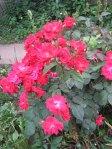 trandafiri28
