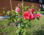 trandafir9